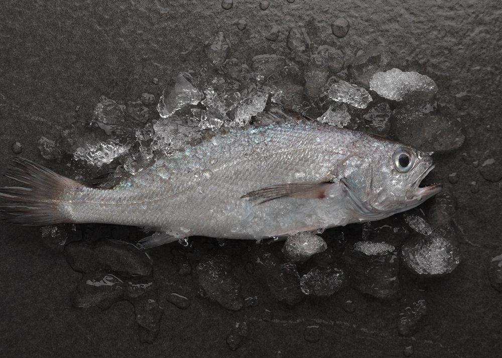 台灣黑喉魚 中