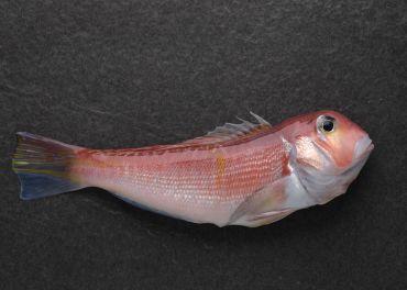 台灣馬頭魚