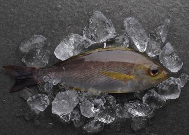 台灣黃雞魚