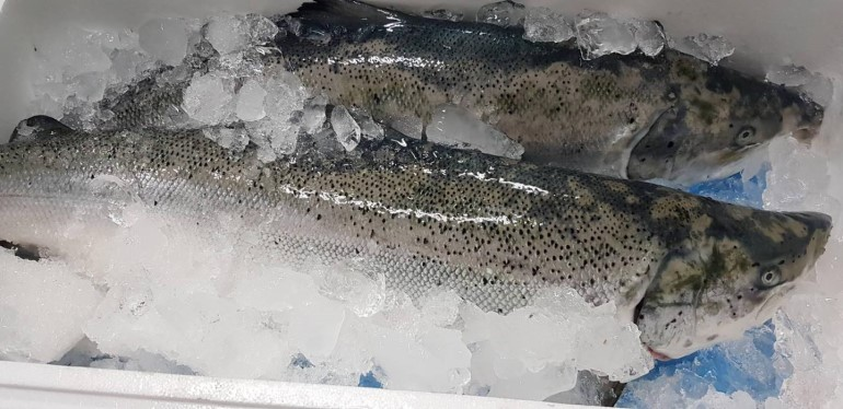 鮭魚漂亮登場