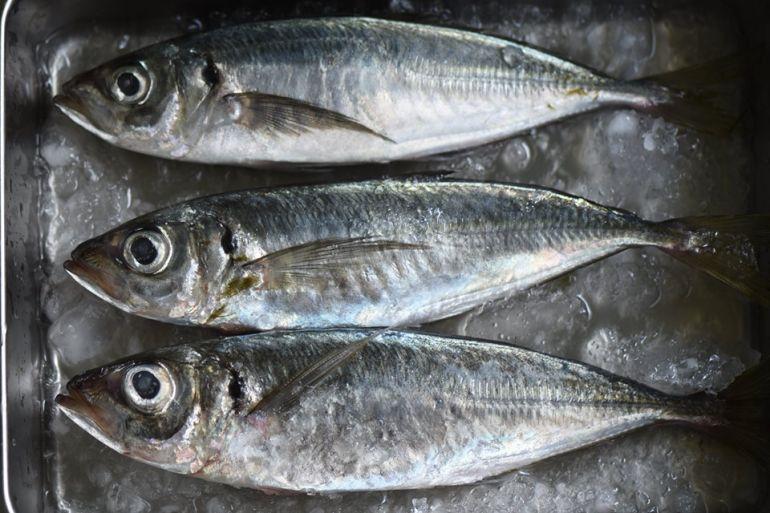 竹莢魚&白帶魚進港