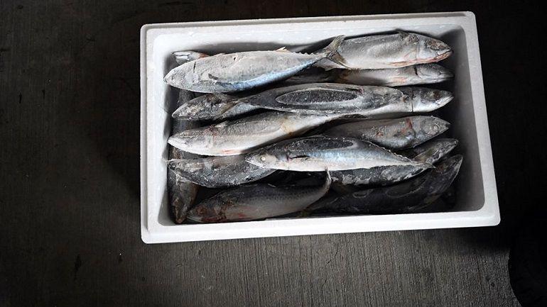 去日本的鯖魚
