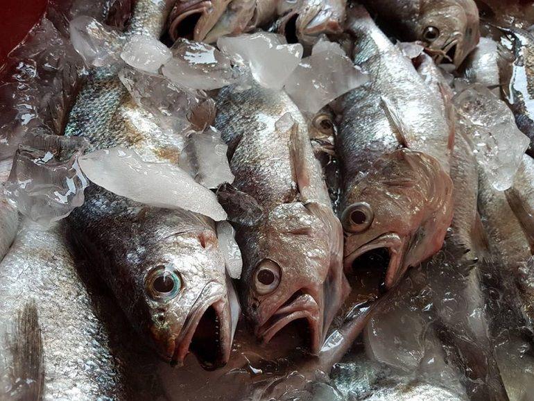 黑喉魚進港