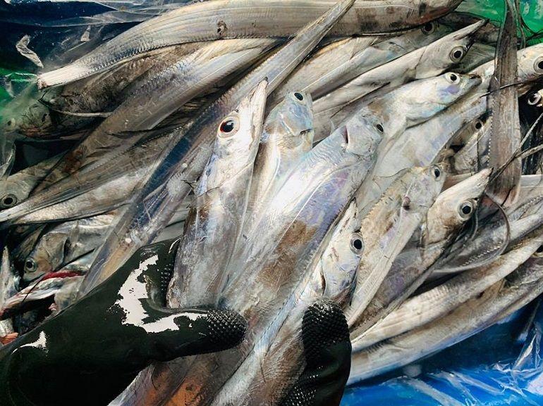 「銀光閃閃」白帶魚