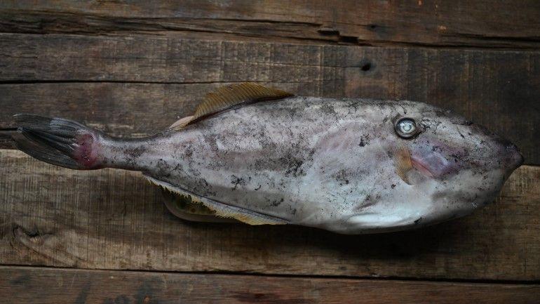 猩弟的說魚時間-剝皮魚