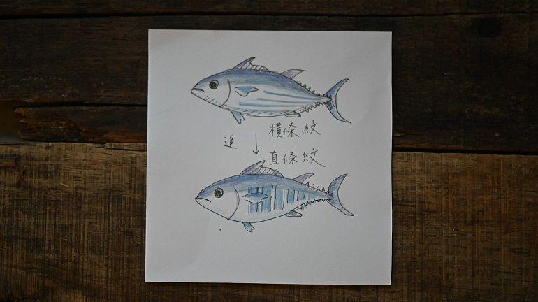 臉紅的鰹魚