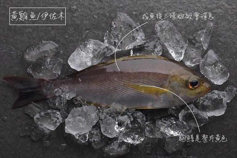 猩弟說魚時間-黃雞魚